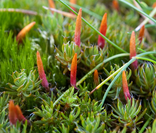Polytrichum piliferum | by -- Green Light Images --