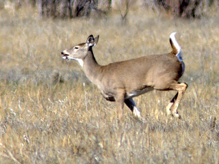 White-tailed Doe 20111110 | by Kenneth Cole Schneider