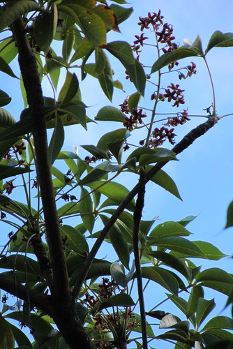 Java olive/skunk tree (Sterculia foetida) flowers & foliage | by Joel Abroad