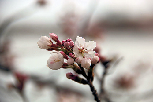 Cherry Blossoms 2011-0016 | by Tim Evanson