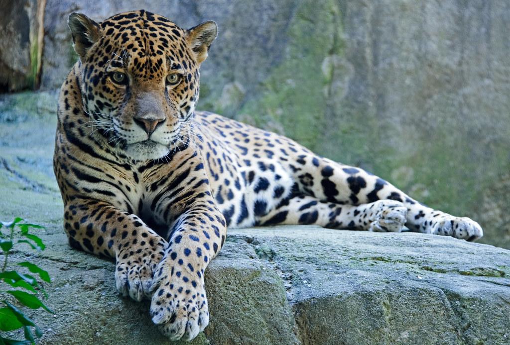 jaguar paws forward as if posed eric kilby flickr. Black Bedroom Furniture Sets. Home Design Ideas