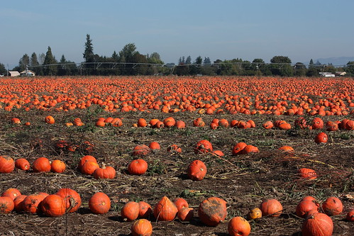 A Sea of Pumpkins... | by Quiltsalad