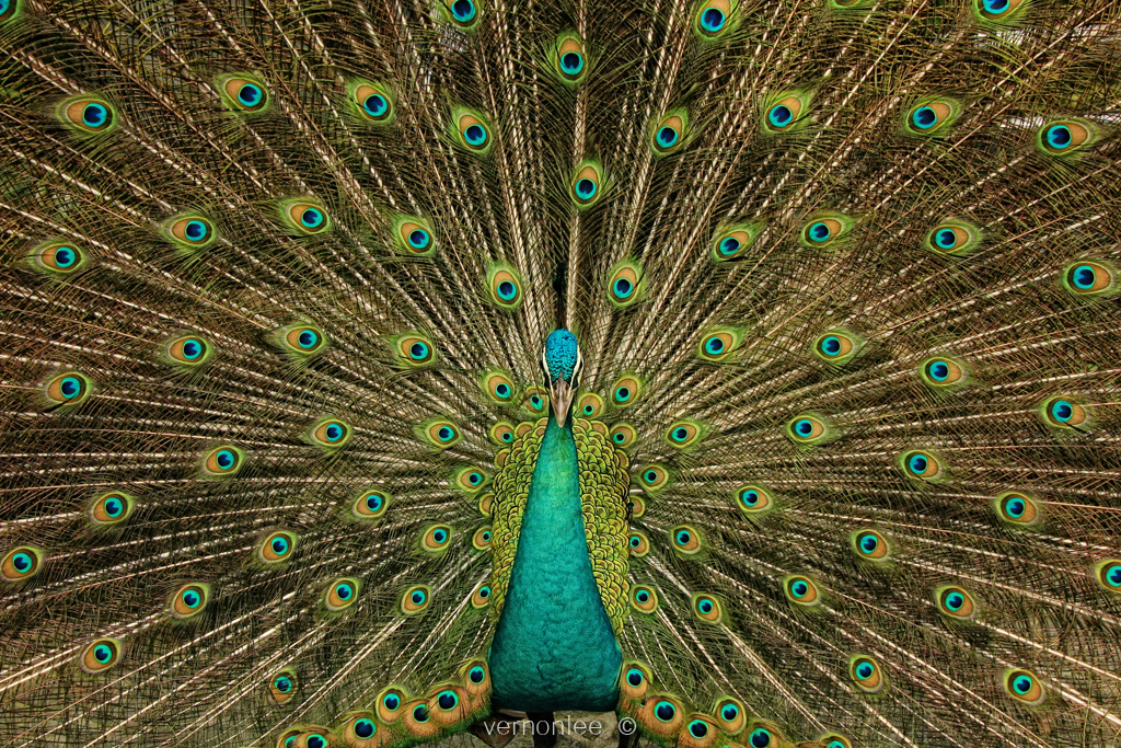 Happy Diwali (Peacock) | In Hinduism the Peacock is ...