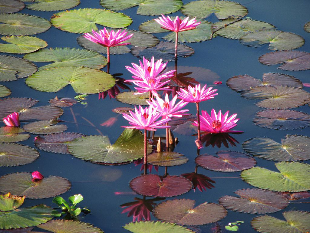 Lotus Flowers In Sunamganj Bangladesh Photo By Balaram M Flickr