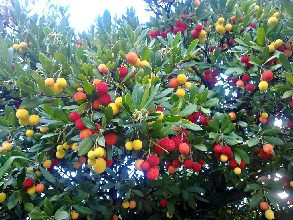 Fruto del madro o los frutos se usan en la fabricaci n for Arbustos perennes para jardin