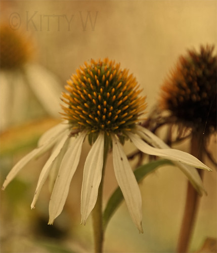 Autumn Coneflower | by Kitty W
