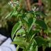 Eupatorium perfoliatum, Perfoliate Boneset