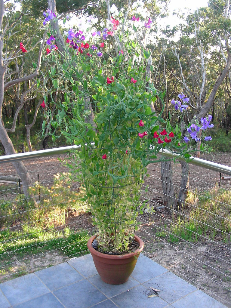 Sweet peas on the balcony sweet peas 5 months since for Plants to grow in garden