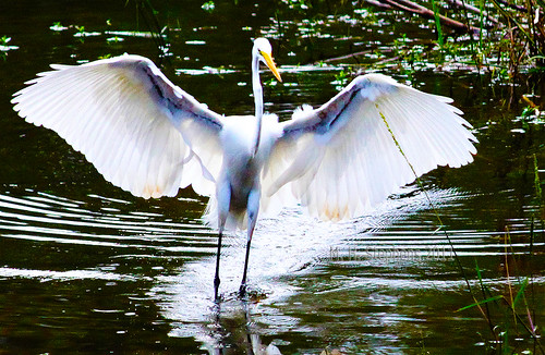 Count dracula wanna be a great white egret landing in for H m landing fish count