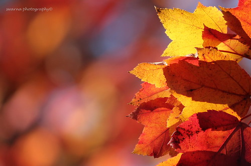 What magic light does to the fall colors!!! | by Swarna Rajan Photography