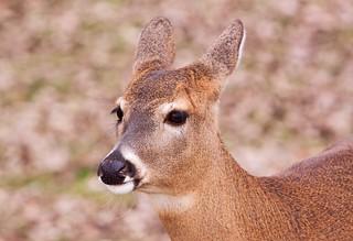 Doe Deer | by Emery O