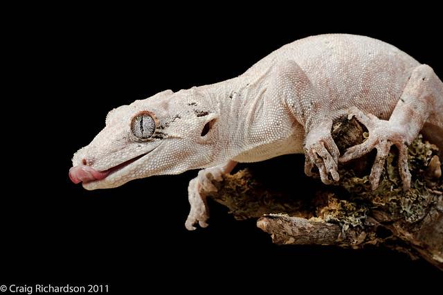 1000 images about gargoyle geckos on pinterest. Black Bedroom Furniture Sets. Home Design Ideas