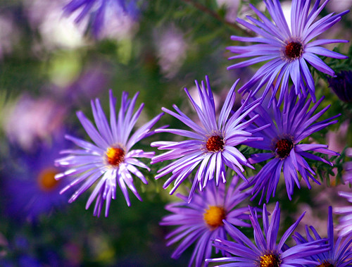 ~ asters in autumn ~ | by A Picture is Worth ---