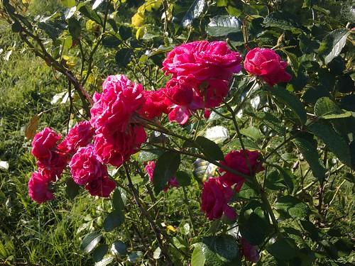 pflanzen rose wander rose rot 0110201101 rosa x multif flickr. Black Bedroom Furniture Sets. Home Design Ideas