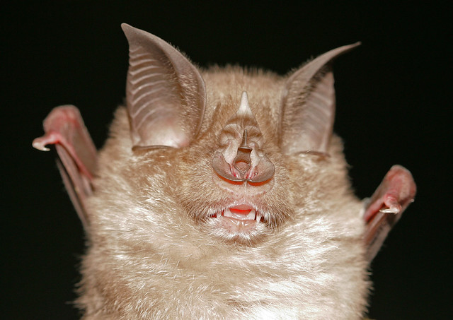 Greater horseshoe bat rhinolophus ferrumequinum flickr for What can you make out of horseshoes