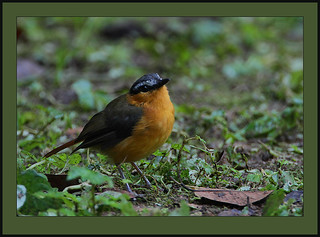 Grey-winged Robin-chat (Cossypha polioptera) | by Rainbirder