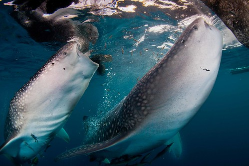 Whaleshark feeding in Cenderawasih bay | by Paul Cowell