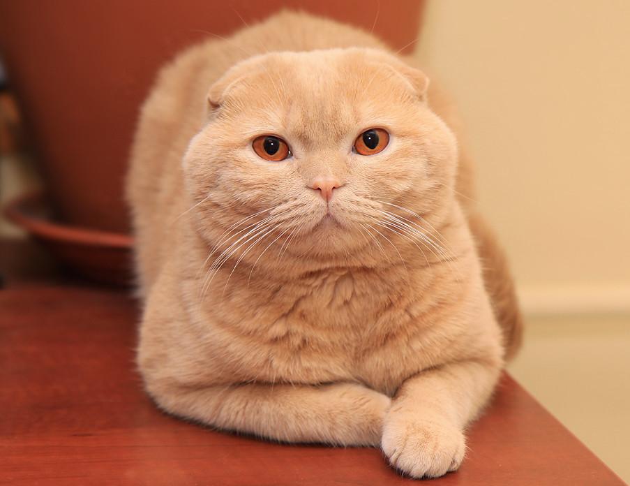 фото вислоухих бежевых котят