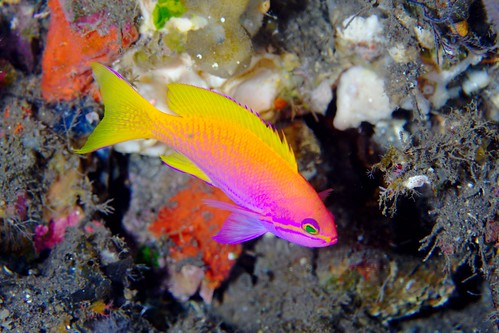 Anthias | by PacificKlaus