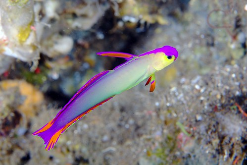 Elegant Dartfish | by PacificKlaus