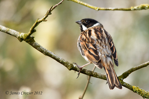 IMG_4775 Reed Bunting  -  Explored  23-3-2012 # 353 | by Jim Crozier