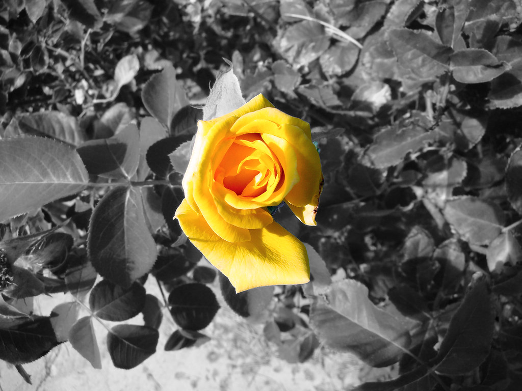 yellow rose on black white background | One of the last ...
