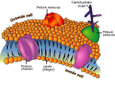 Phospholipid Bilayer Labeled