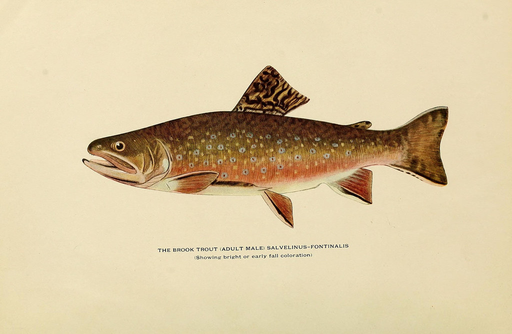N21 w1150 trout fly fishing in america new york e p for Trout fishing in america