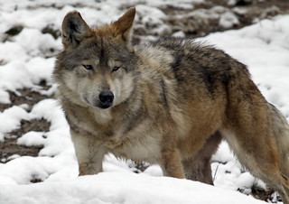 Cincinnati Zoo ... Wolf in the snow ... | by Connie Lemperle
