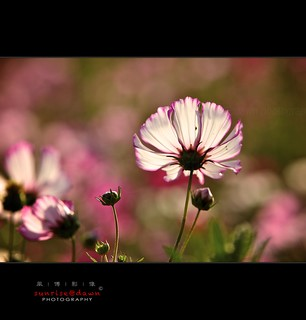 cosmos in the light, 2012  1 | by 風傳影像 SUNRISE@DAWN photography