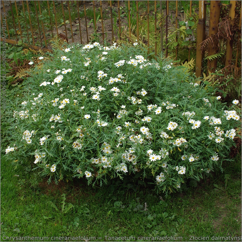 chrysanthemum cineraiifolium Lavandula hybrid, citrus limonum, eucalyptus globulus, chrysanthemum cineraiifolium, cinnamomum camphora gebrauchsanweisung: niemals mit.