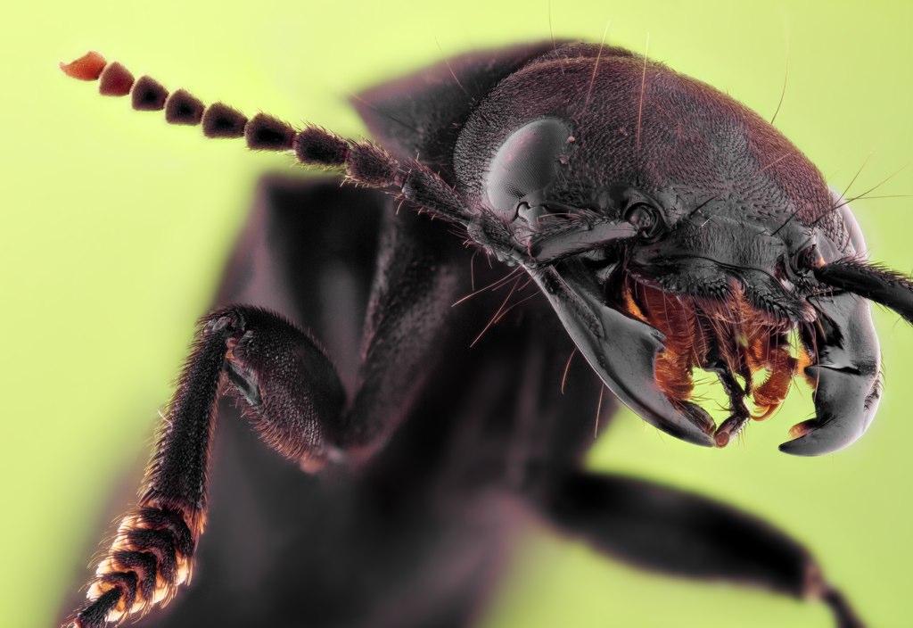 Staphylinidae Rove Beetles