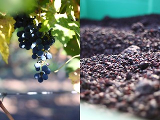 Grapes on the vine and after wine was pressed out | by Xiaolu // 6 Bittersweets