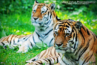 Minnesota Zoo - Amur Tigers | by SkyWildPhotography