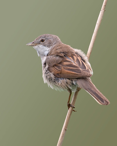 Whitethroat (Sylvia communis) | by Ray Seagrove