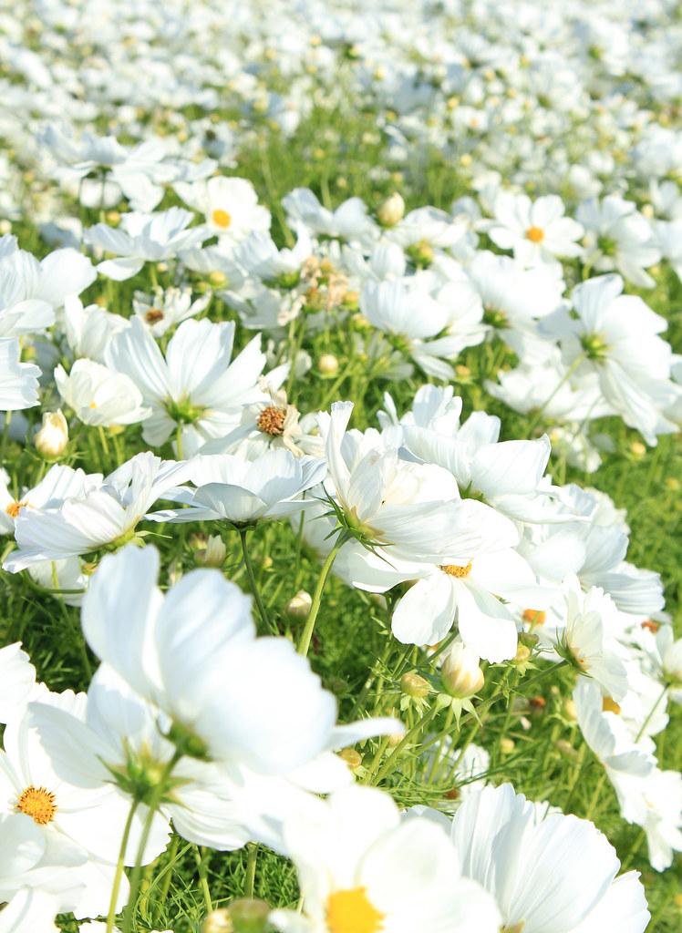 Field of white flowers beautiful field of white flowers flickr field of white flowers by trostle mightylinksfo