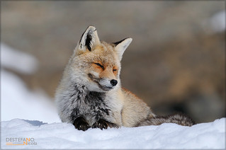 Red Fox | by Nicola Destefano