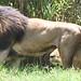 Leão nervoso....leoa quietinha....14/01/2006