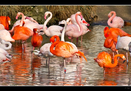 Flamingos | by Seahorse-Cologne