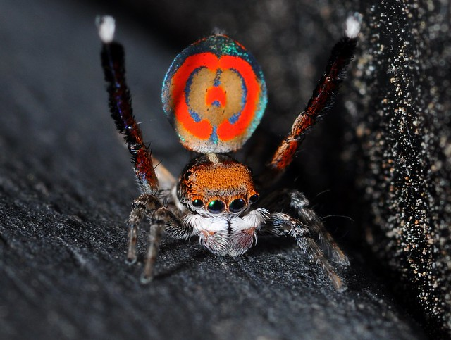 Peacock jumping spiders - photo#35