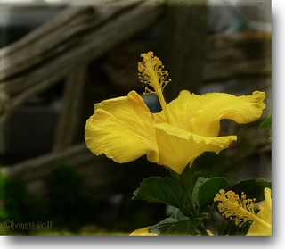 proud to be yellow...... | by bonnie5378