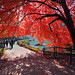 'Cherry Umbrella', United States, New York, New York City, Central Park, Red Maple Tree
