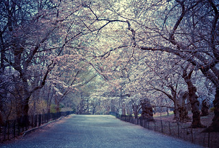 Cherry Blossoms - Spring - Central Park - New York City | by Vivienne Gucwa