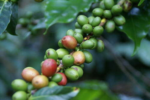 Coffee plantation, Honduras