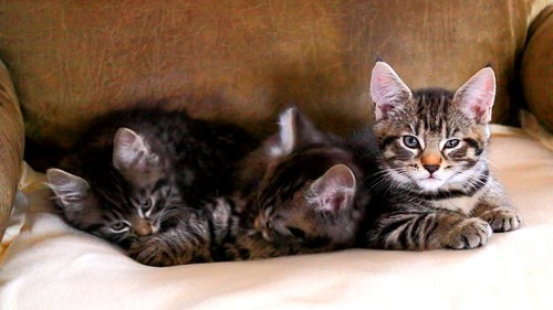 Tammy, Tommy and Jack, Fluffy's Kittens (nine-weeks-old Maine Coon kittens) | by Niko S90