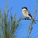 Loggerhead Shrike 20111011