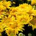 Chrysanthemum hybrid