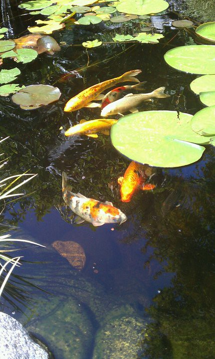 10 water garden koi pond design and installation envirosca for Garden pond installers