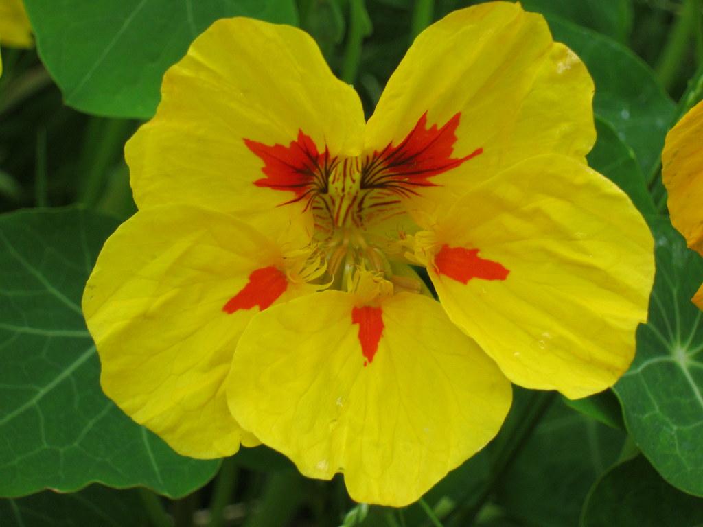Self Sown Nasturtium Flower These nasturtiums have been se…
