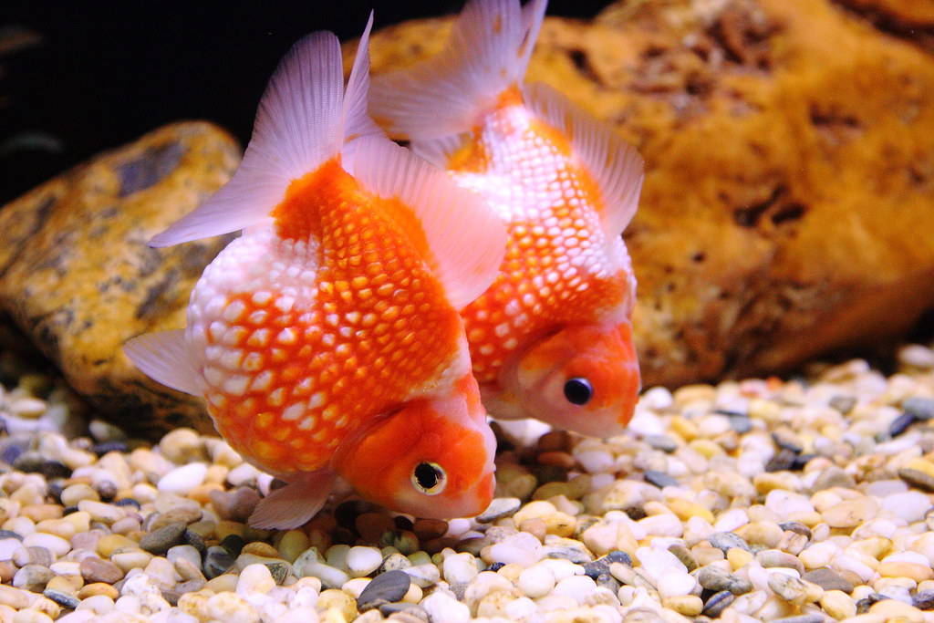 Fantail Goldfish | These must be the fastest goldfish I ...